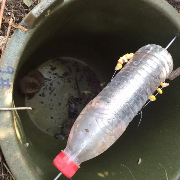 国外自制水桶捕鼠