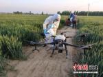 农业技术人员用人机进行小麦条锈病防治。 张鹏翔 摄 - 中国新闻社河北分社
