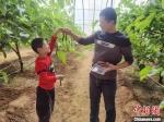 游客在展示刚采摘的桑果。 杨猛 摄 - 中国新闻社河北分社